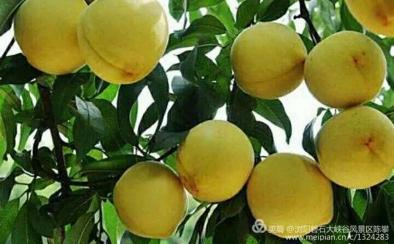 正宗的炎陵黄桃品种,香脆鲜嫩